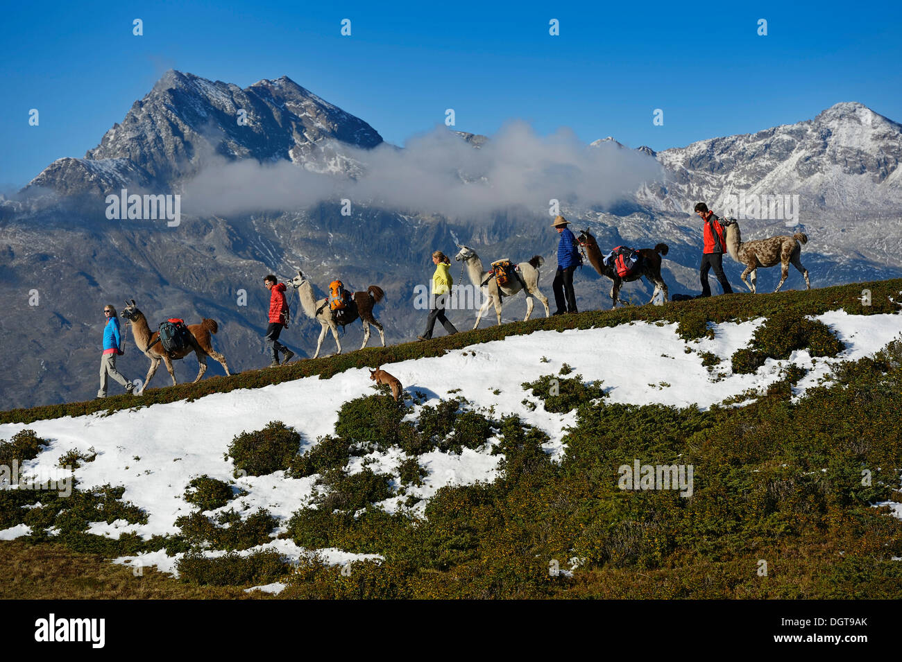 Llama tour to the summit of Boeses Weibele Mountain in the Defregger Group, Carnic Dolomites, Upper Lienz, Puster Valley - Stock Image