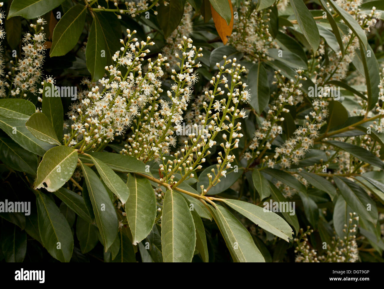 Cherry Laurel, Prunus laurocerasus in flower in spring. - Stock Image
