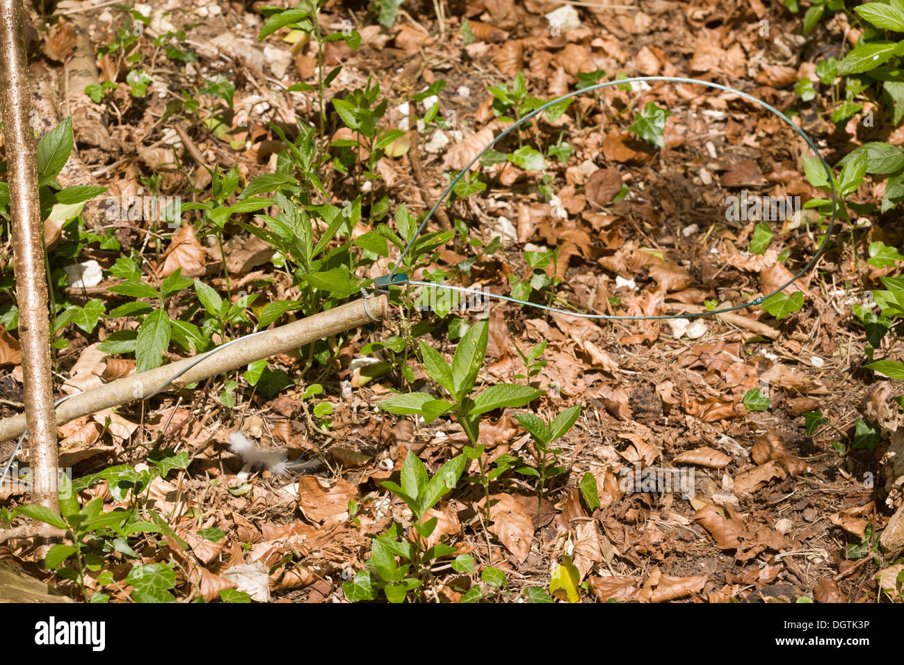 Noose trap set in woodland used for pheasant-rearing. Dorset. - Stock Image