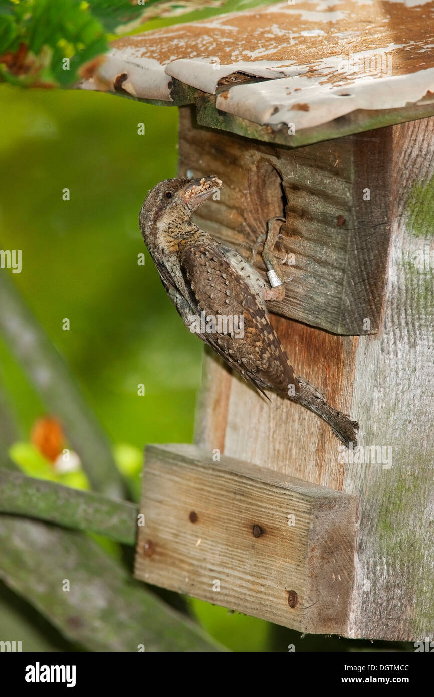 Eurasian wryneck (Jynx torquilla) perched on a nesting box with ant pupae, Saxony-Anhalt - Stock Image
