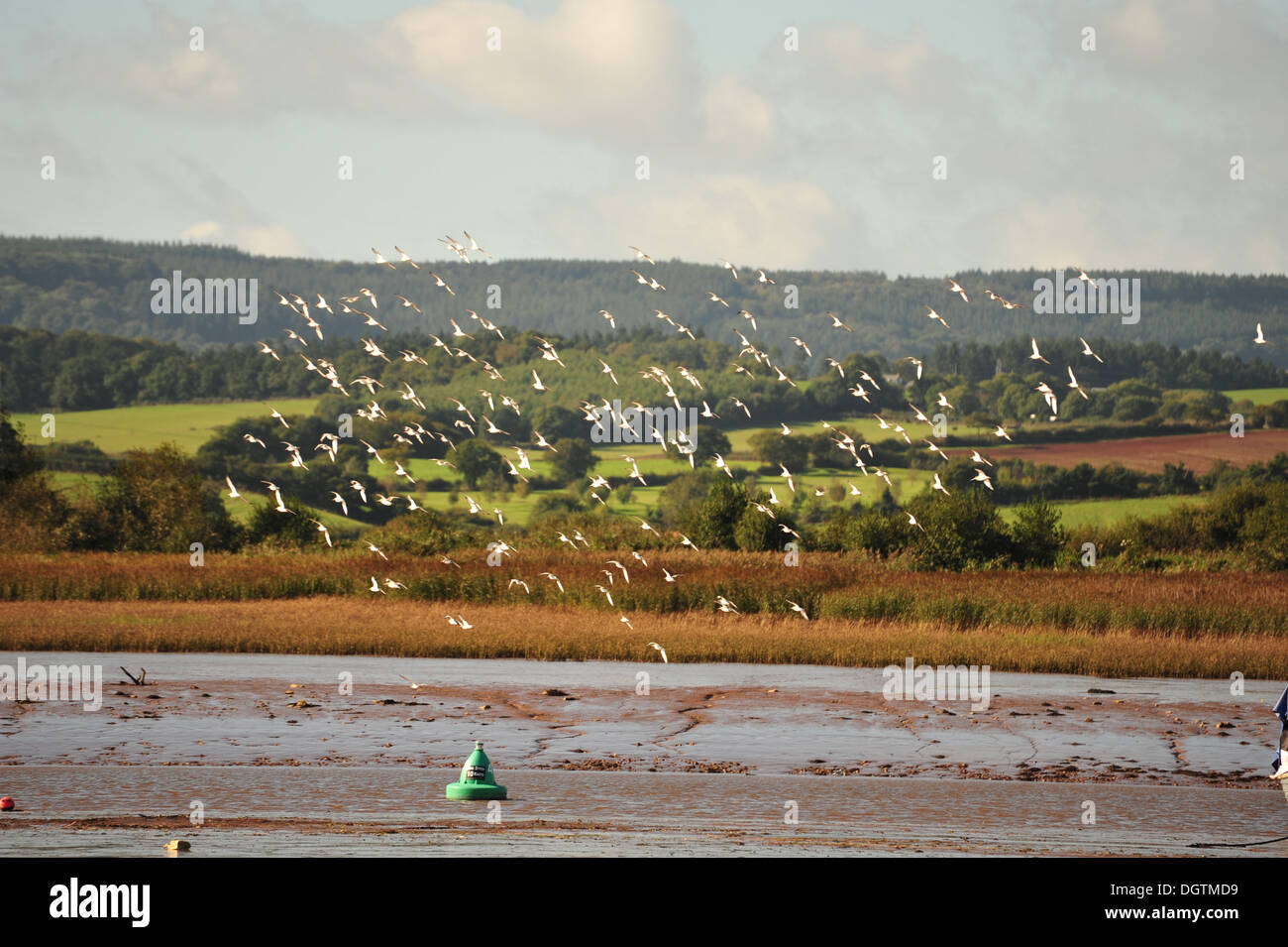 flock of sea gulls on the Exe Estuary - Stock Image