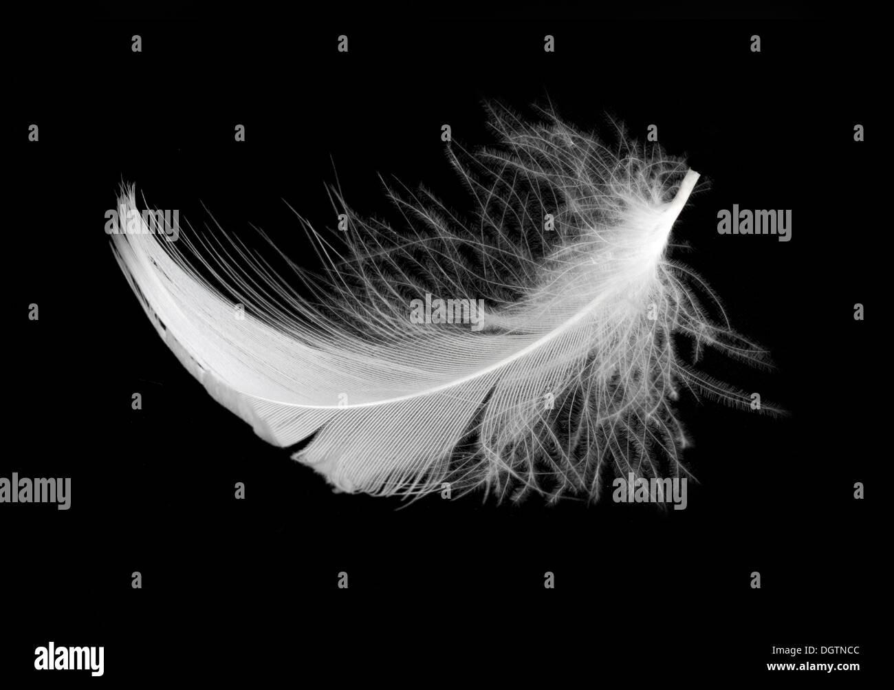 White feather isolated on white background - Stock Image