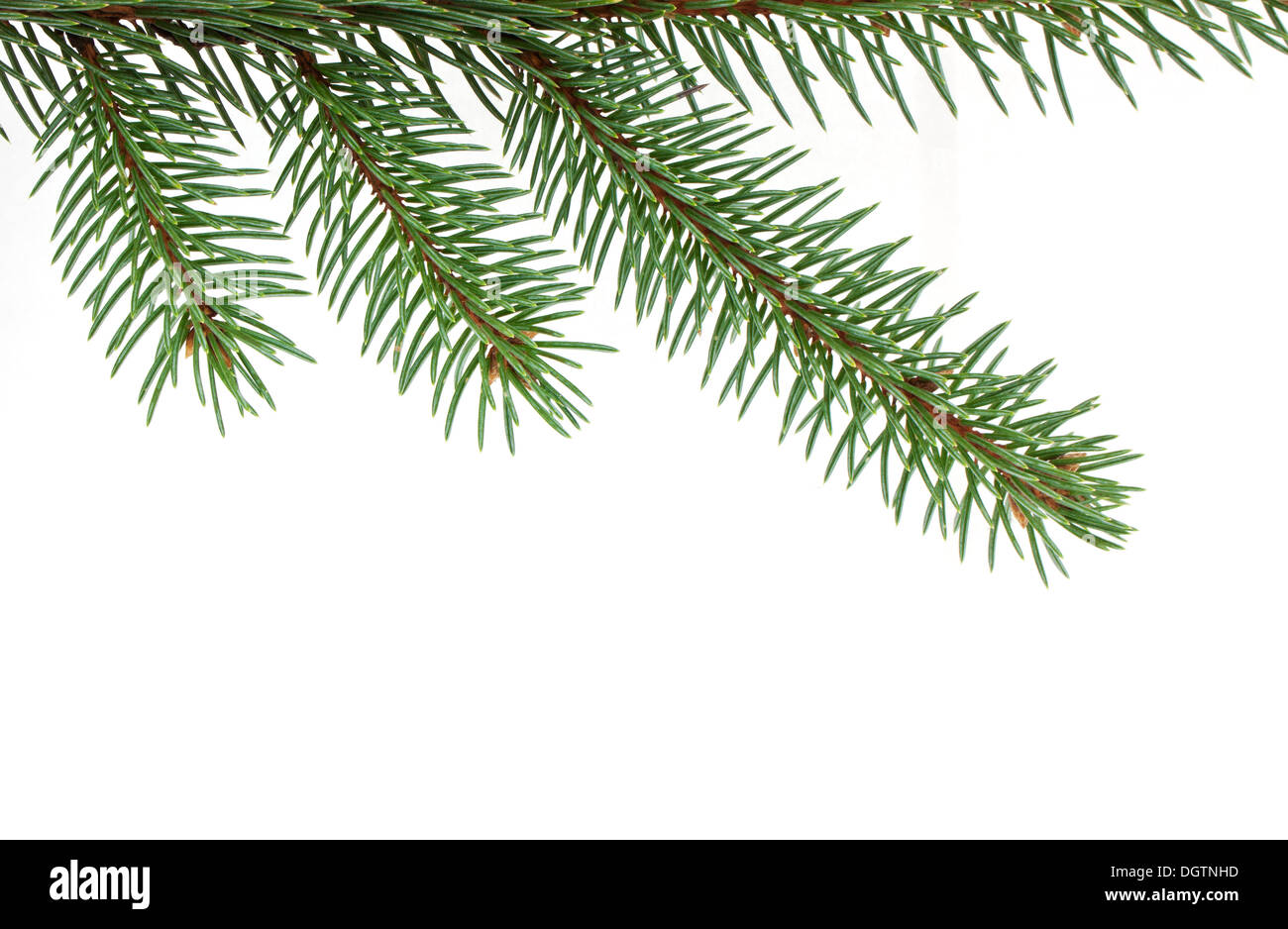 Pine tree branch isolated on white background - Stock Image