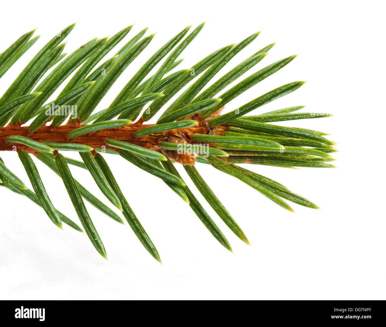 Pine tree branch isolated on white backgrond - Stock Image