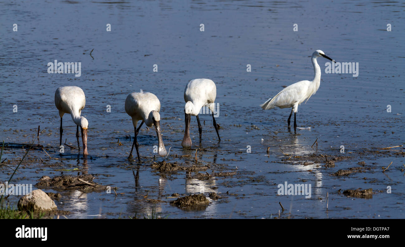 Group of spoonbill birds looking for food Stock Photo
