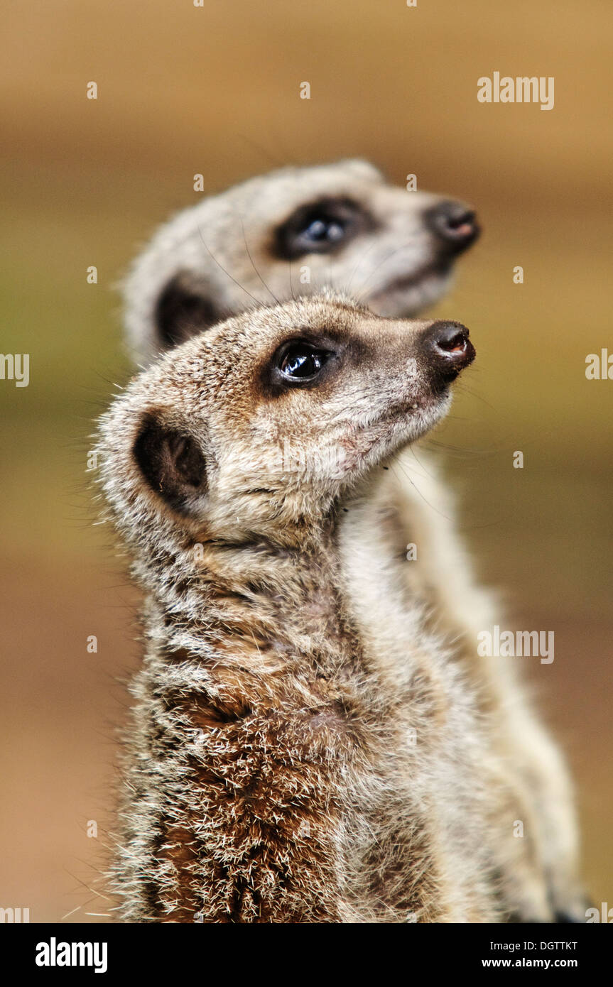 Two Meerkats standing to attention looking towards something that has caught their attention - Stock Image