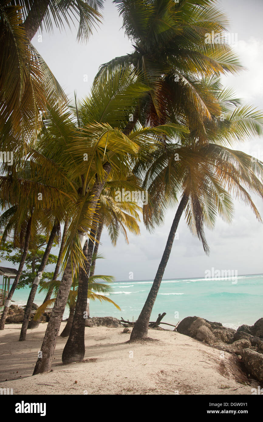 beach with palm trees in Barbados - Stock Image