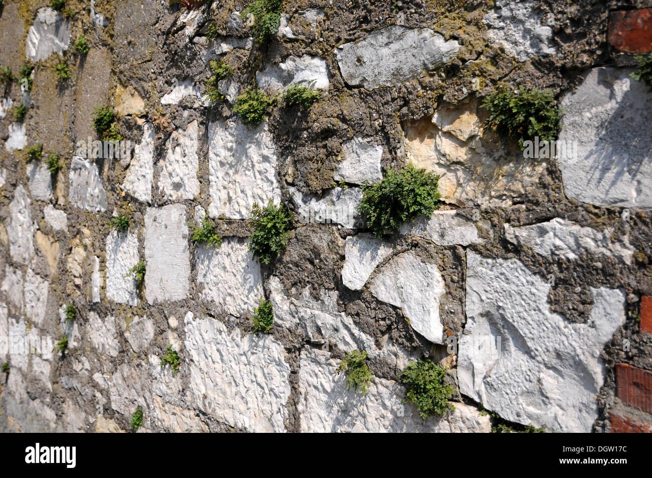 Wall Rue Stock Photo