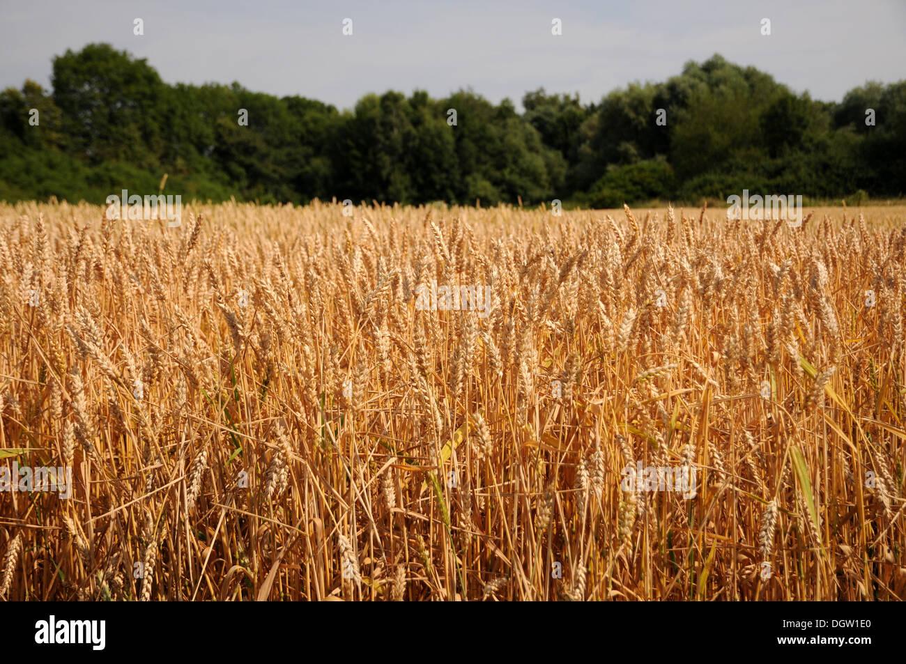 Ripe Wheat-Field - Stock Image