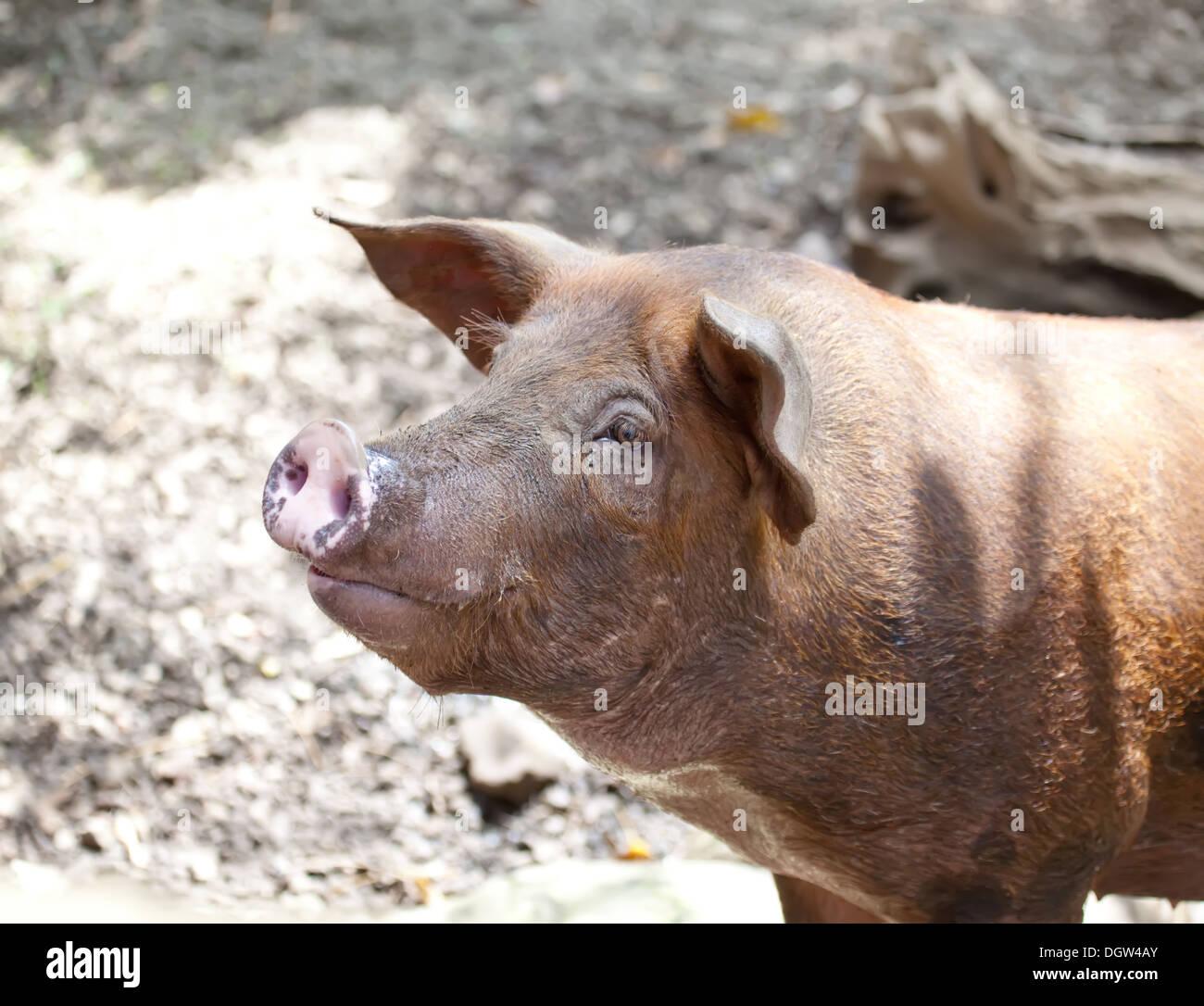 The Big Pig Stock Photo: 62017843