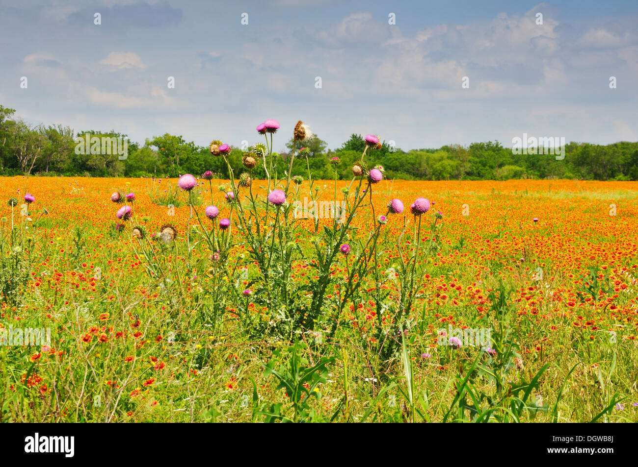 Wild Flower Field In Spring North Texas Usa Stock Photo 62023266