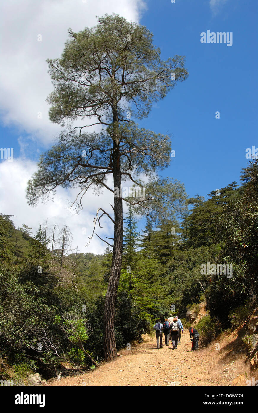 Group of hikers hiking below a tall Aleppo Pine (Pinus halepensis), Tripylos, Troodos Mountains, Southern Cyprus - Stock Image