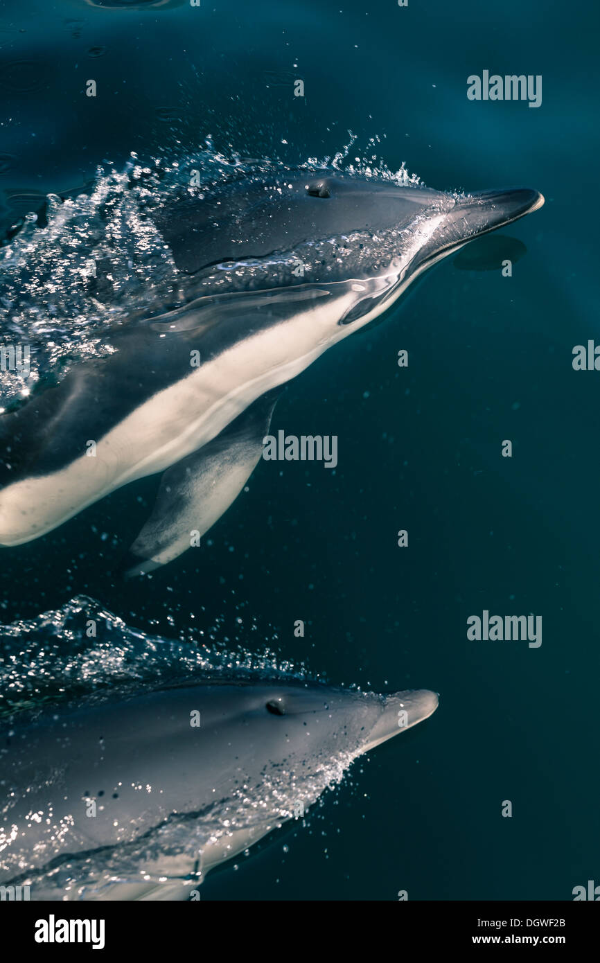Closeup of two Dolphins in the Strait of Gibraltar. Stock Photo