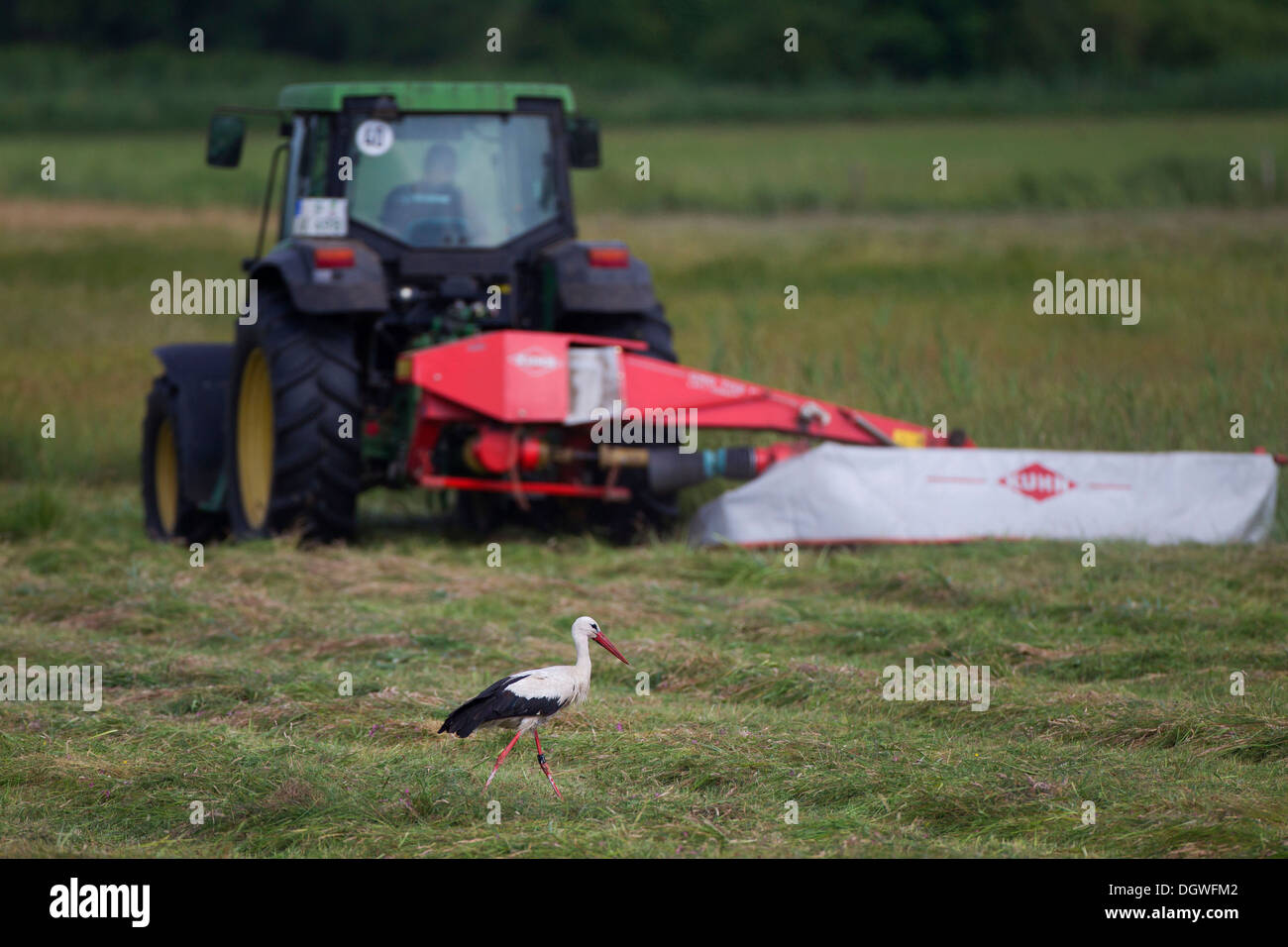 White Stork (Ciconia ciconia) in search of food shortly after a mower has mown a field, Potsdam, Brandenburg, Germany - Stock Image