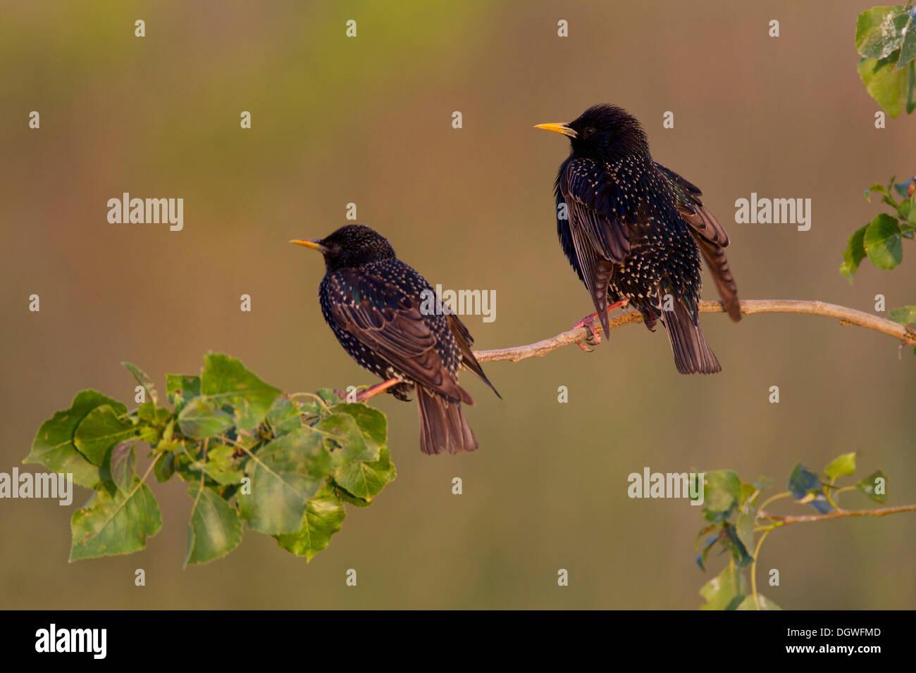 Starlings (Sturnus vulgaris) during courtship, North Bulgaria, Bulgaria - Stock Image