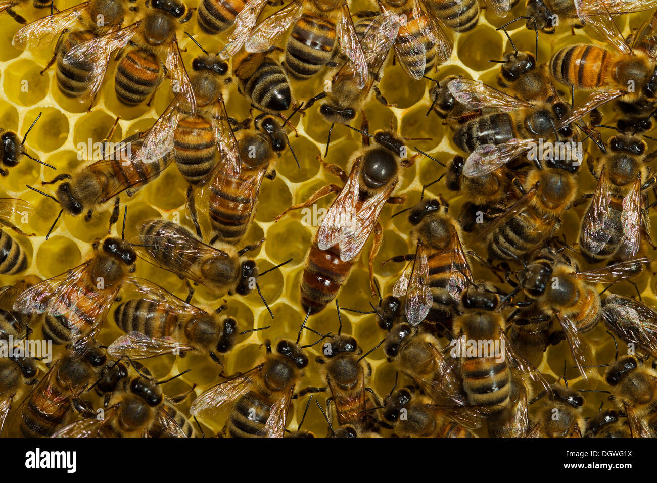 Western Honey Bees (Apis mellifera), queen on honeycomb surrounded by workers, Thuringia, Germany - Stock Image