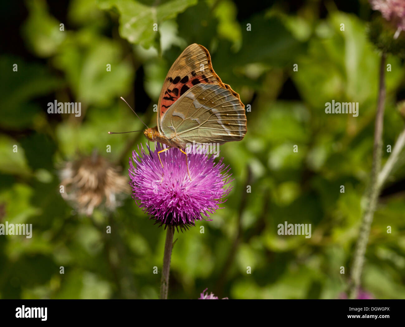 Cardinal Fritillary Argynnis pandora butterfly, feeding on thistle. Bulgaria. - Stock Image