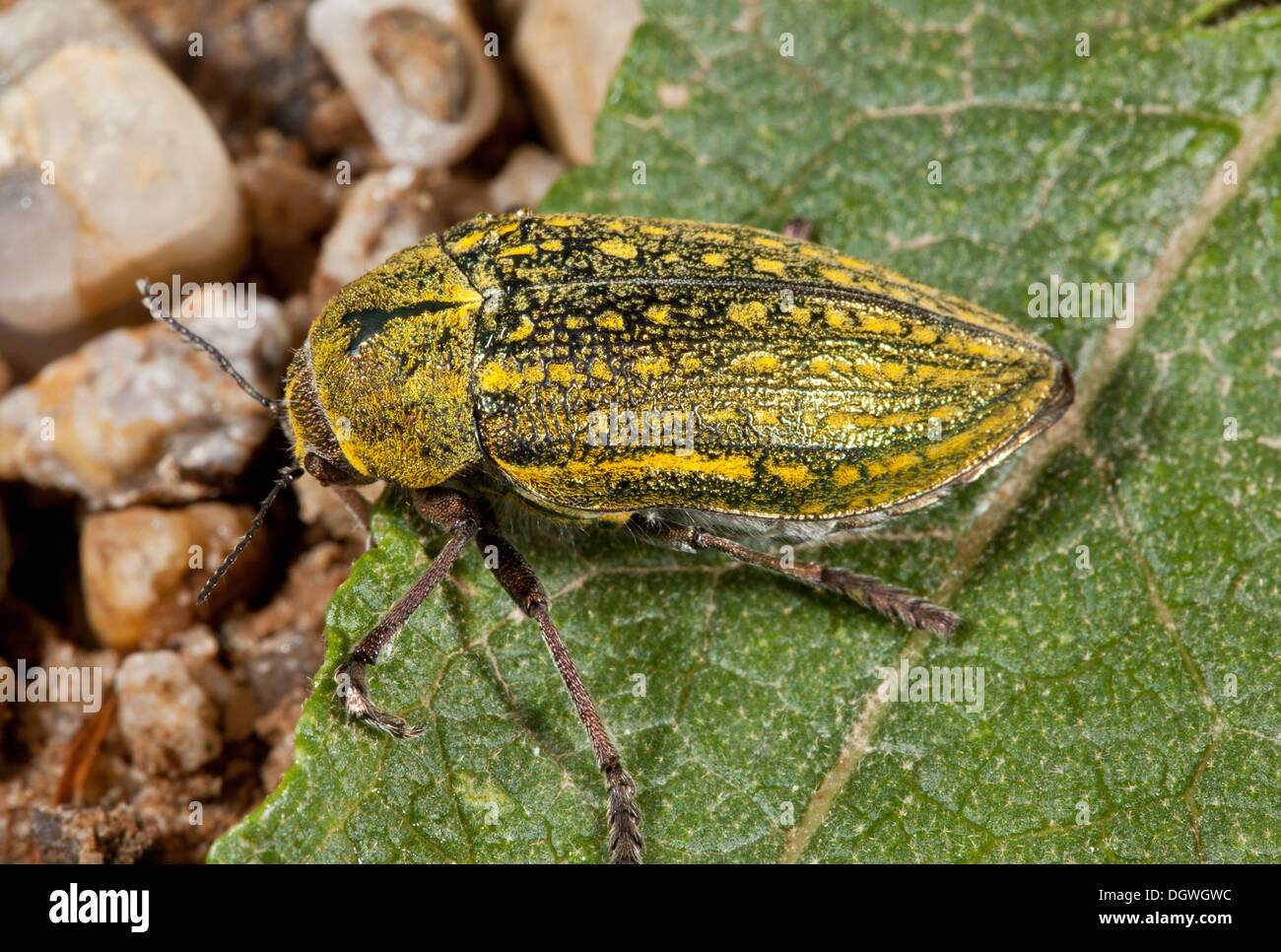 A jewel beetle, or Buprestid, Julodis ehrenbergii; Bulgaria. - Stock Image