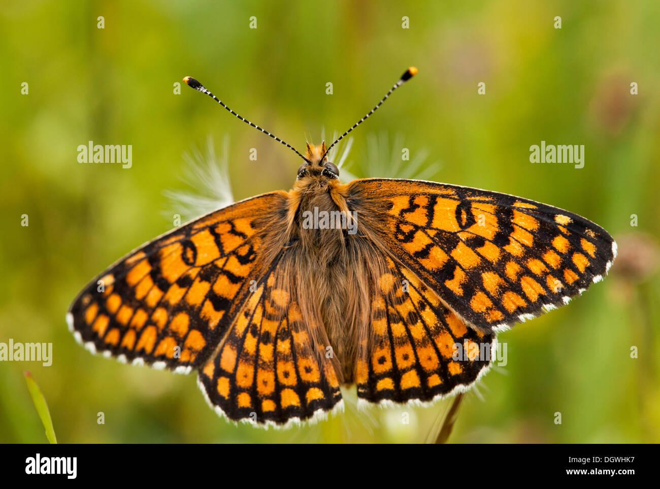 Glanville Fritillary, Melitaea cinxia, basking in the sun. Very rare in the UK. - Stock Image