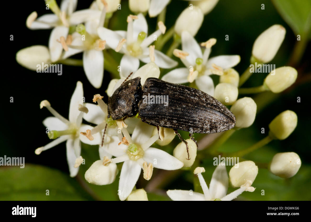 Chequered Click Beetle Prosternon tessellatum, feeding on pollen. Martin Down, Hampshire. - Stock Image