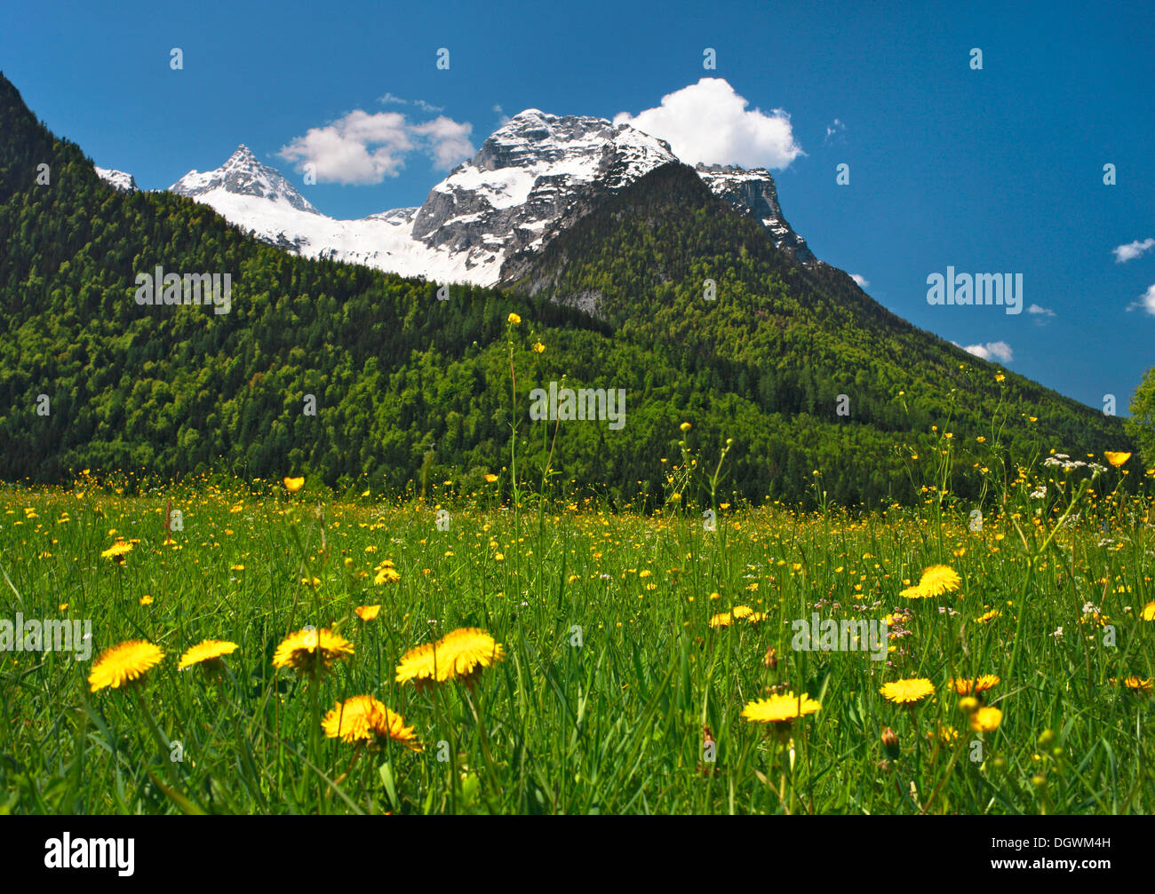 Meadow with dandelions in front of Mt Reifhorn near Lofer, Lofer, Salzburger Land, Salzburg State, Austria - Stock Image