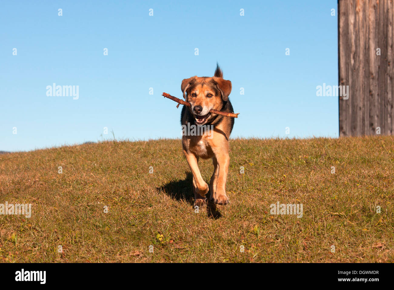 Mongrel, crossbreed of German Shepherd and Bernese Mountain Dog, retrieving a stick - Stock Image