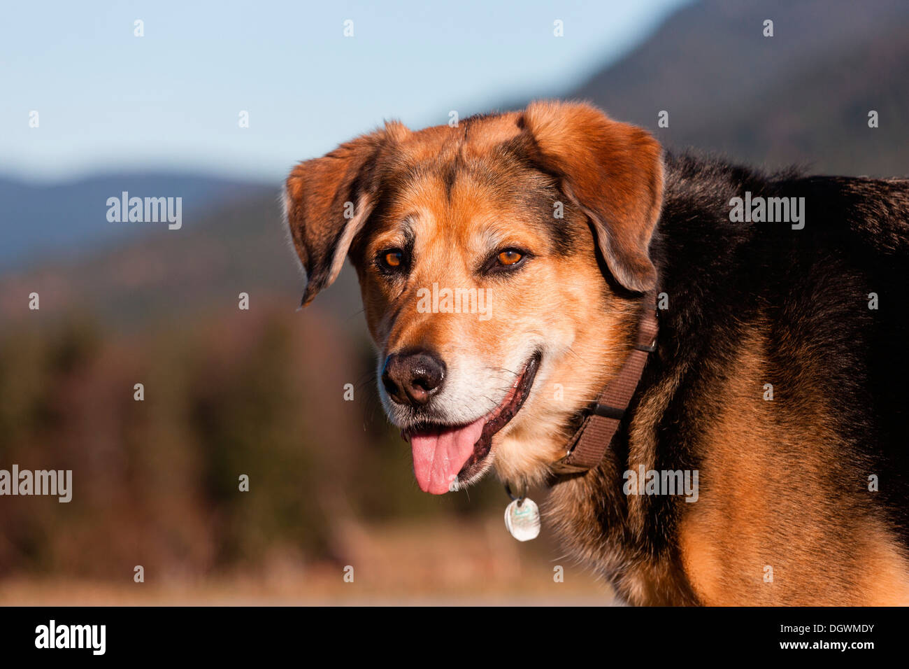 Mongrel, crossbreed of German Shepherd and Bernese Mountain Dog, portrait - Stock Image