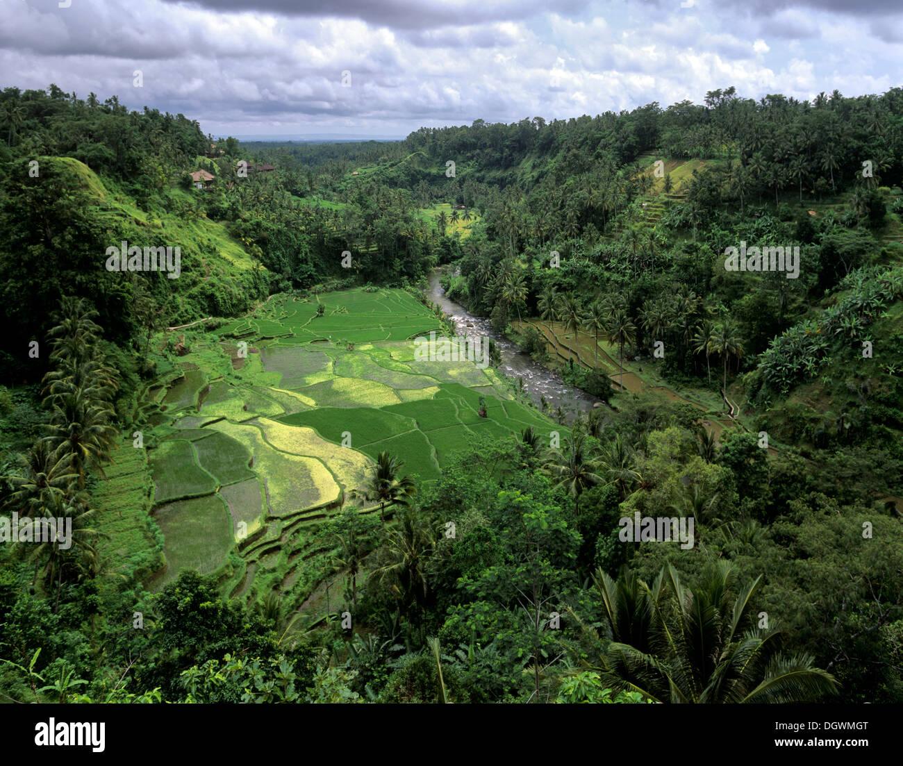 Rice paddies, terrassed fields and coconut trees, Ubud, Bali, Südostasien, Indonesia - Stock Image