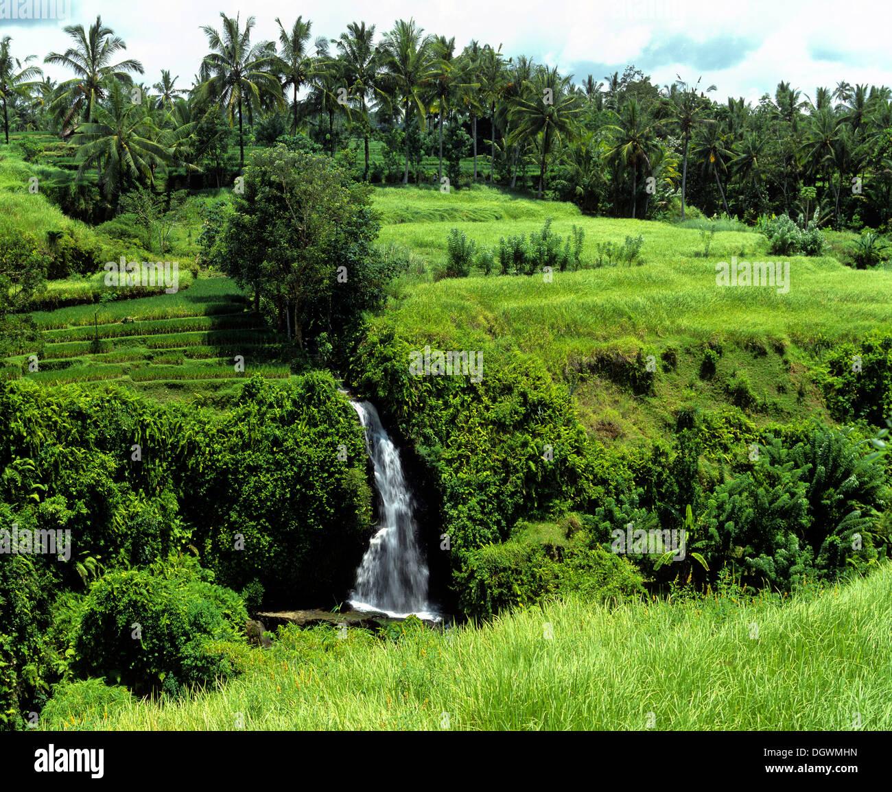 Waterfall, rice paddies, terraced fields and coconut trees, Ubud, Bali, Südostasien, Indonesia - Stock Image