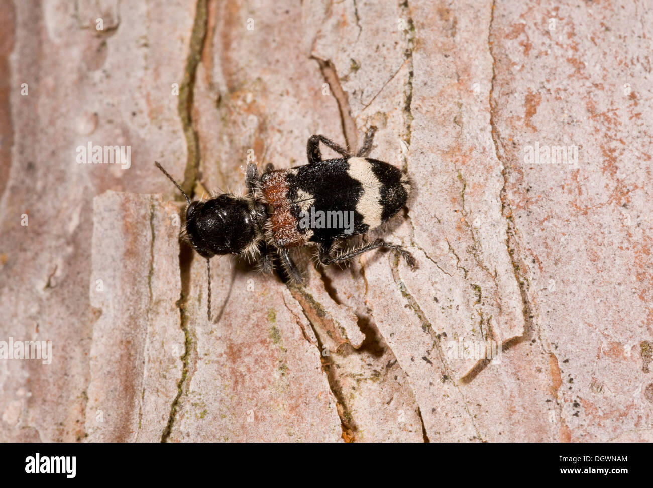 Chequered Beetle, Clerus mutillarius on old trunk; feeds on larvae of other beetles. France - Stock Image