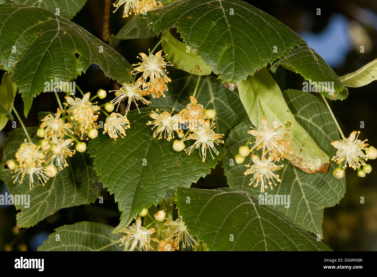 Large-leaved Lime, Tilia platyphyllos in flower. Rich nectar source. Uncommon native in UK. Stock Photo