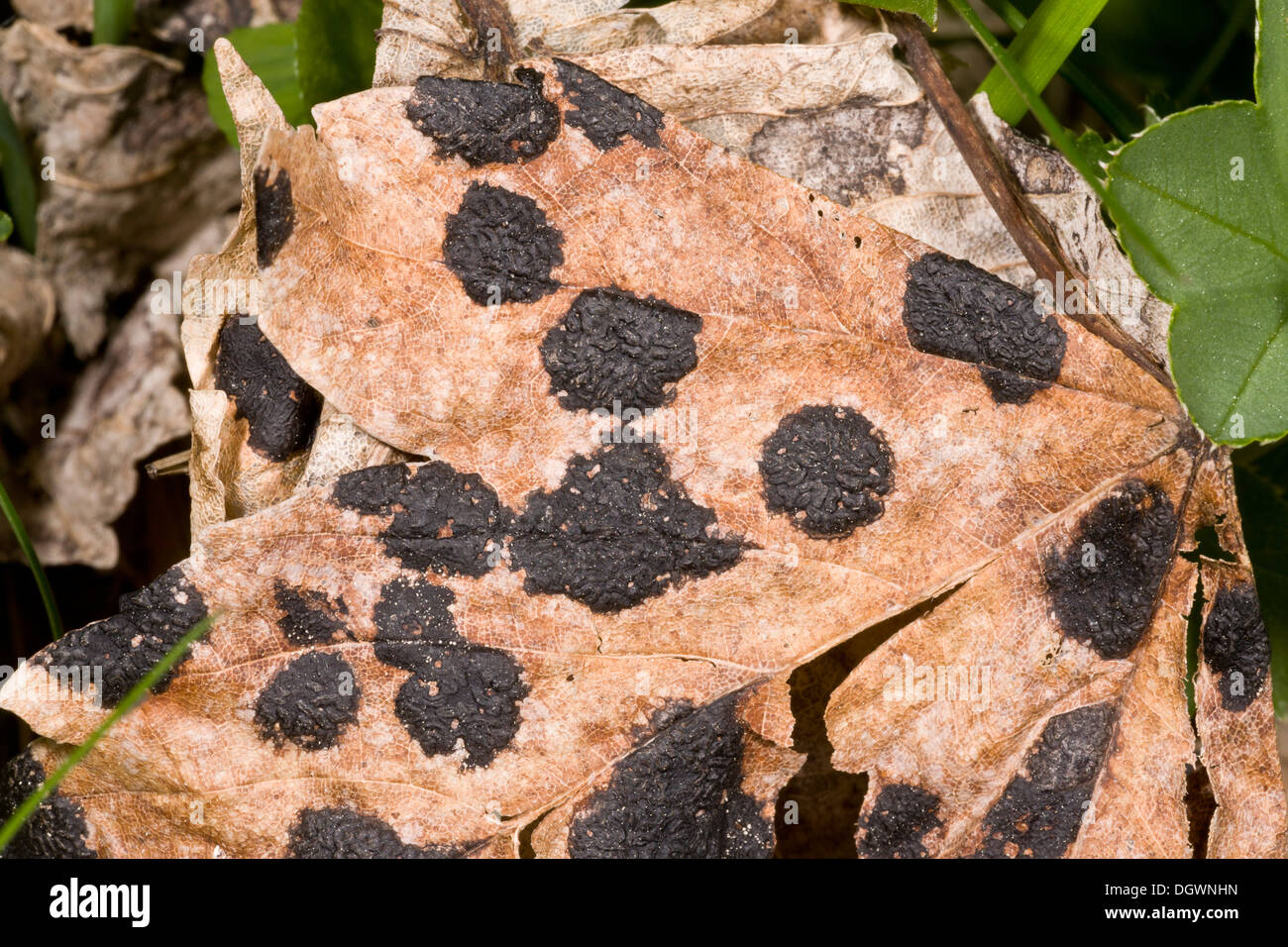 Tar spot fungus, Rhytisma acerinum on Sycamore leaf. - Stock Image