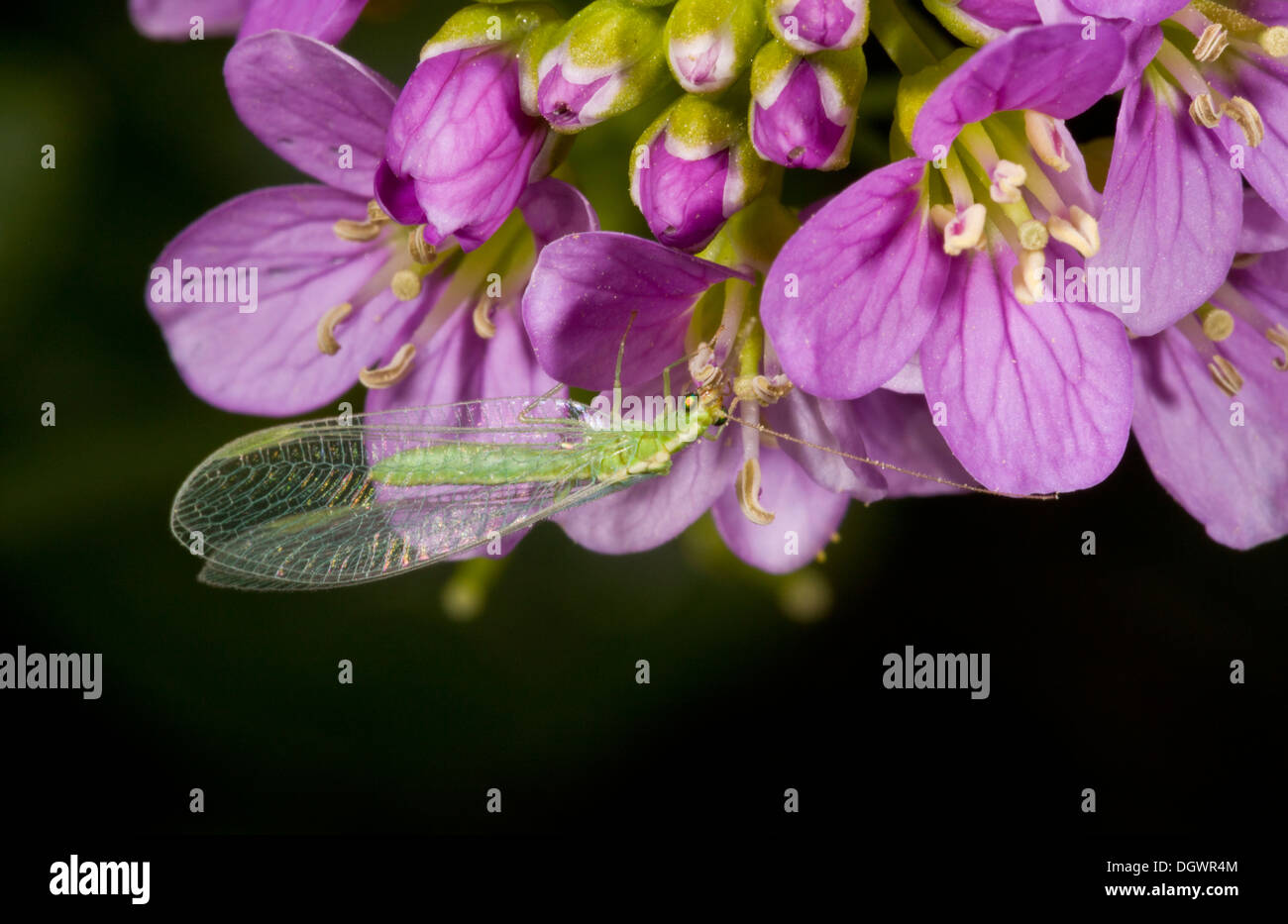 A Green Lacewing, Chrysopa carnea agg, on radish-leaved cuckoo-flower. Stock Photo