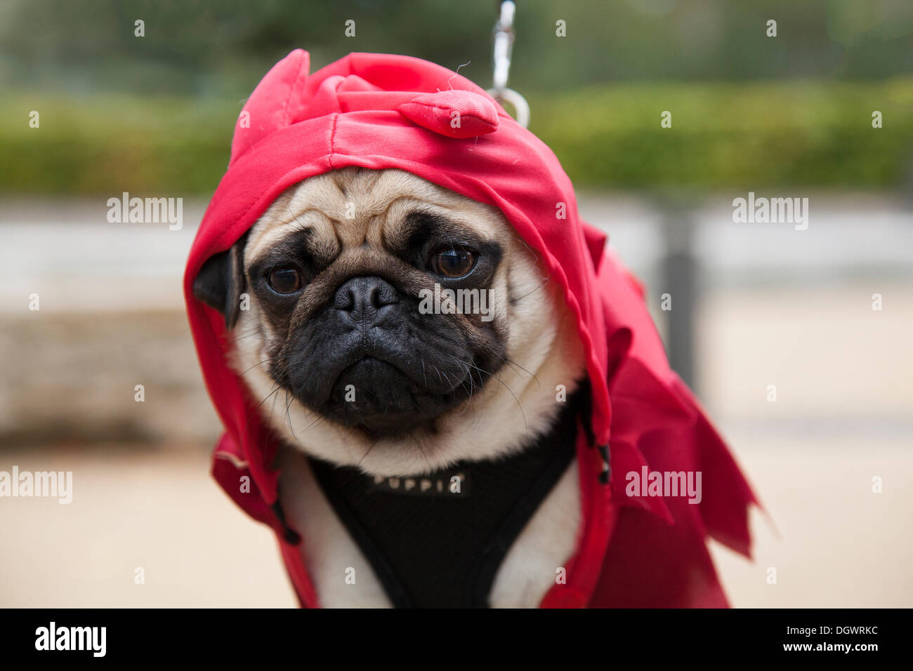 Manchester, UK 26th October, 2013. Pug in Halloween costume at the Quays, Trafford Park, Manchester  Open Weekend. Stock Photo