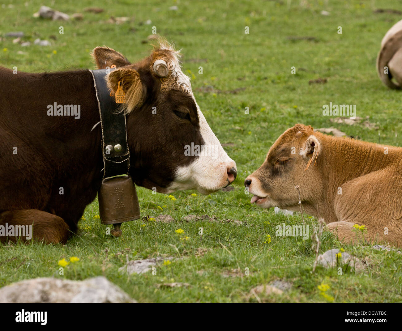 Ordesa National Park, Pyrenees - cattle grazing in the high glaciated valley. Spain. - Stock Image