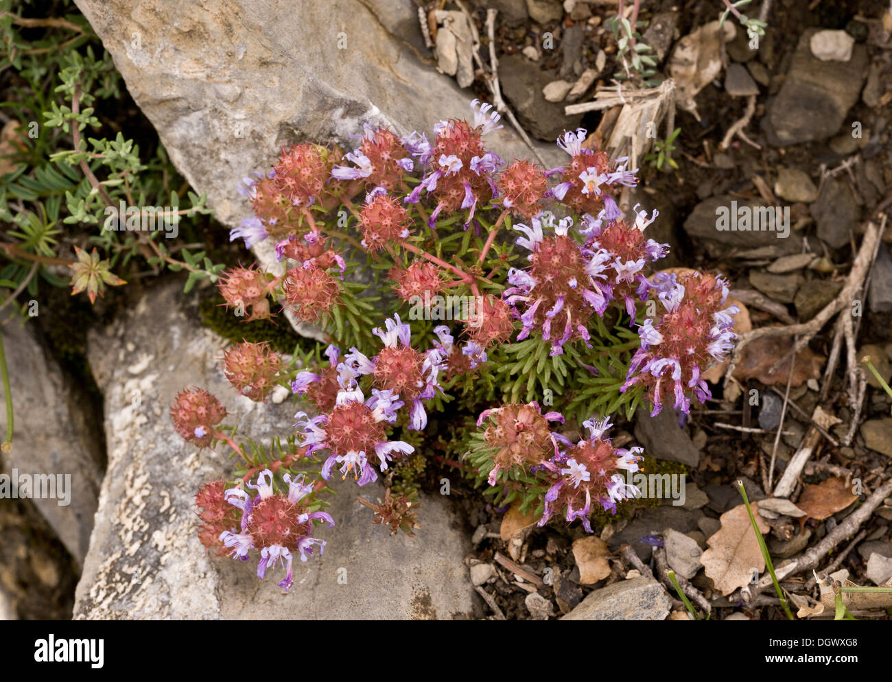 An unusual plant at mid-altitude in the Pyrenees, Coris monspeliensis. Spain. - Stock Image