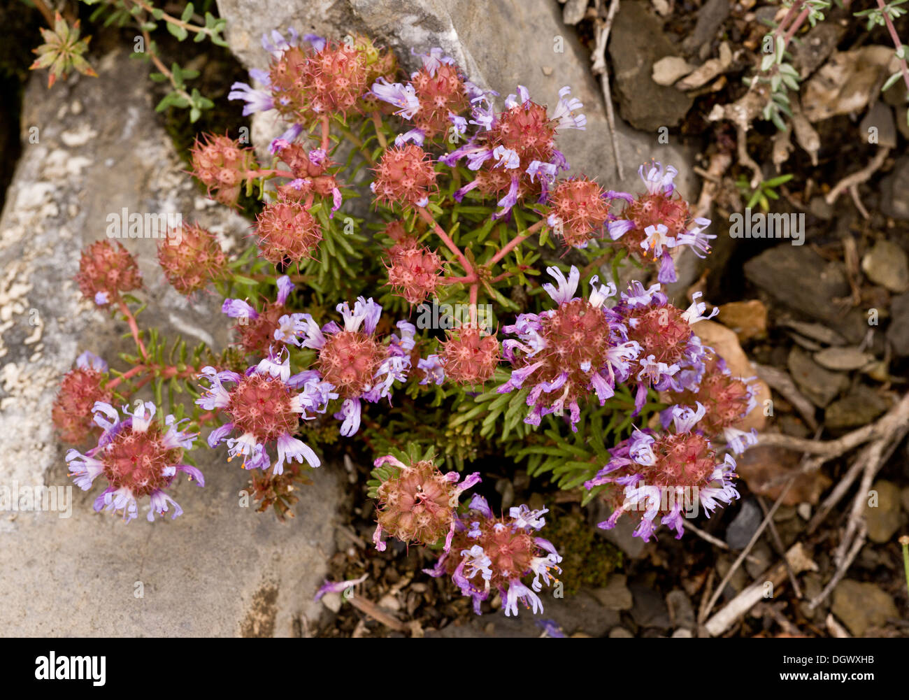 An unusual plant at mid-altitude in the Pyrenees, Coris monspeliensis. Spain. Stock Photo