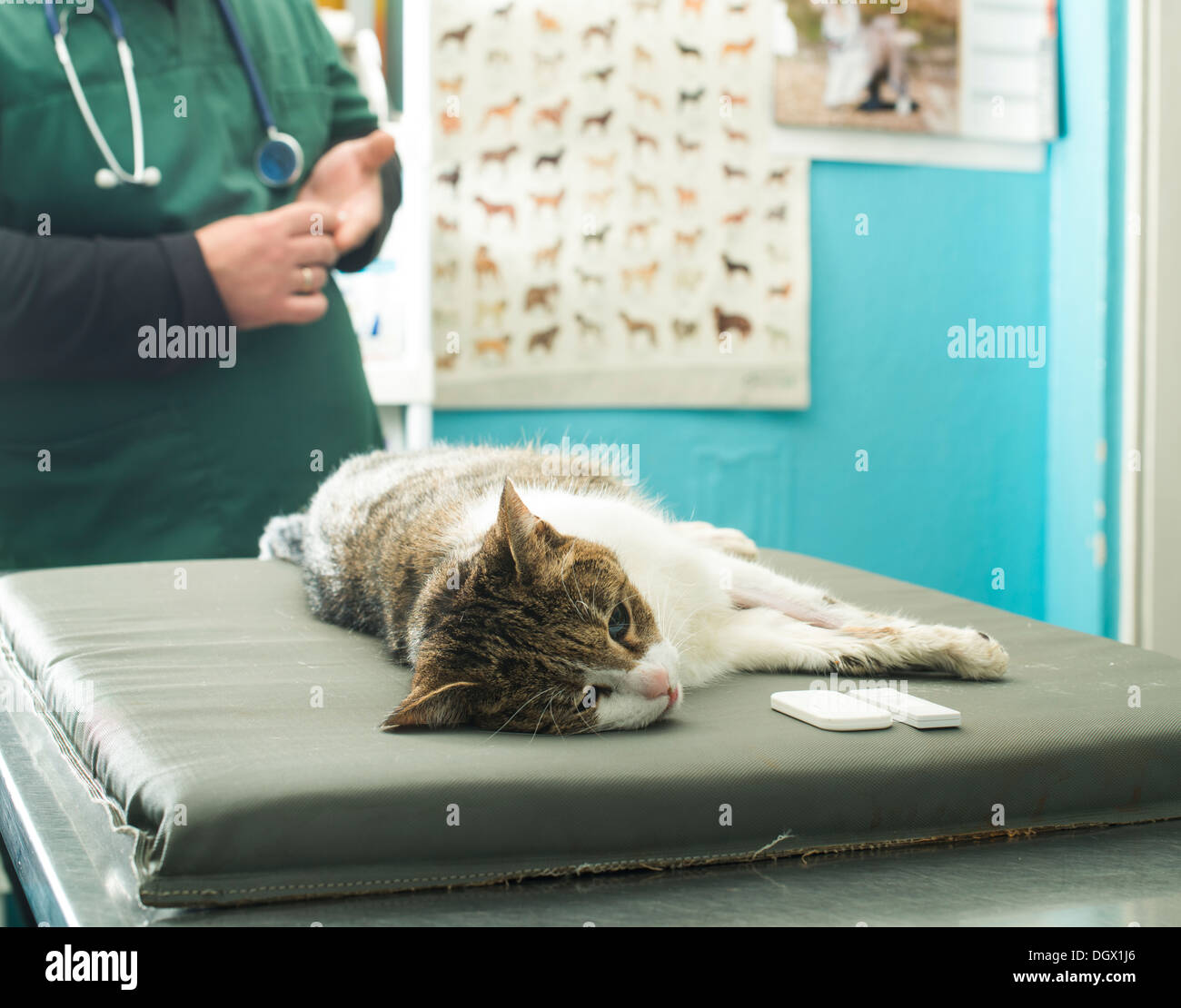 Veterinary Blood test. Cat in vetrinary - Stock Image
