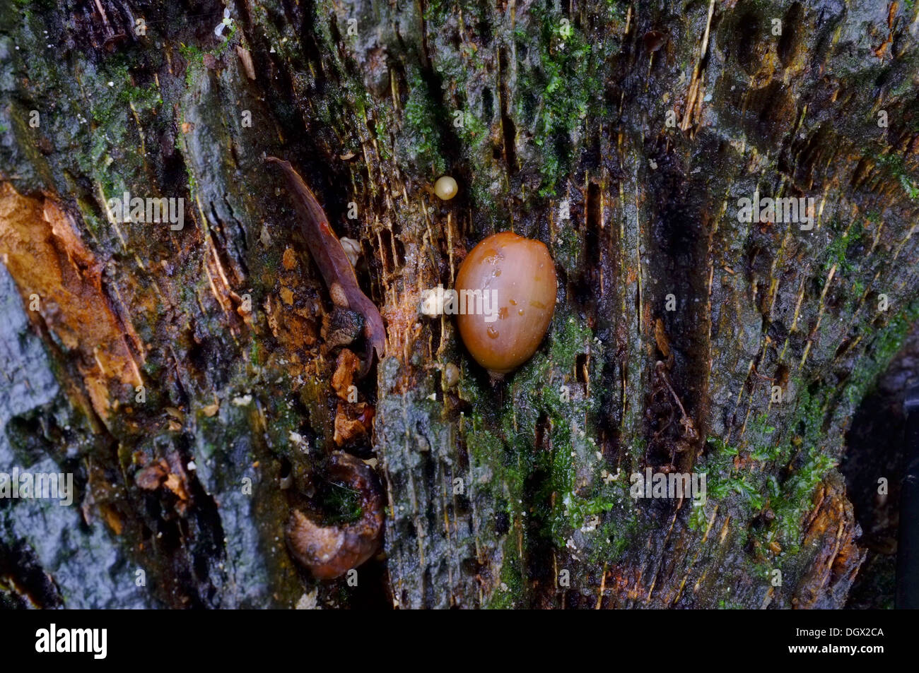 Acorn wedged into a rotting tree stump by squirrel - Stock Image