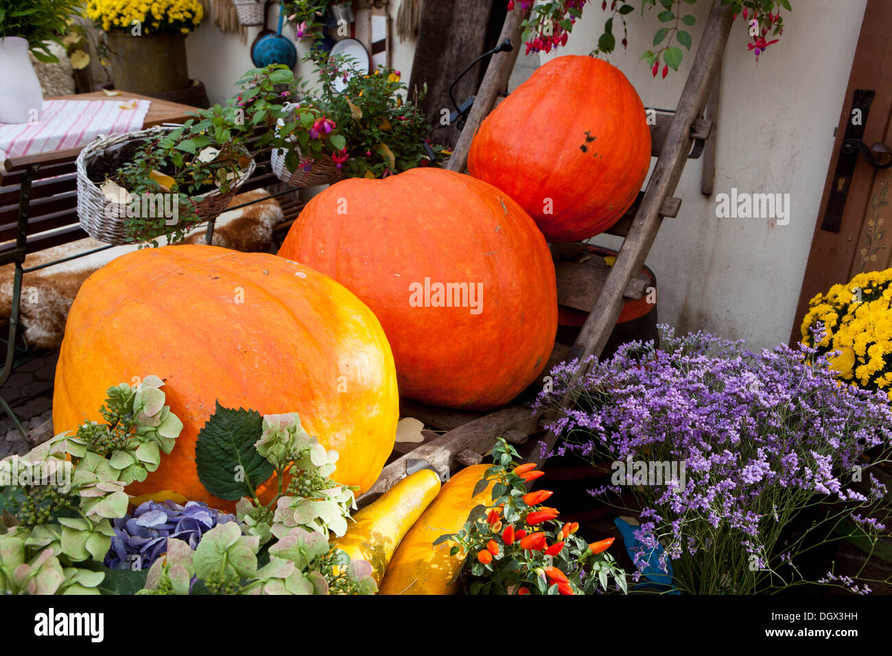 Autumnal pumpkins, harvest decoration in the restaurant - Stock Image