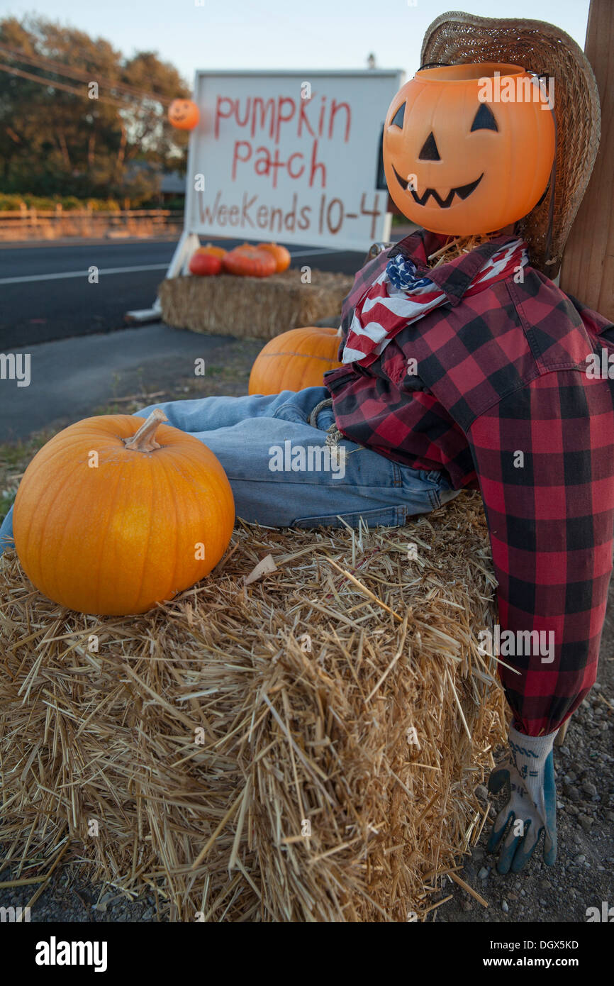 Scarecrow with pumpkin head sitting on hay bale in front of pumpkin patch, Sonoma, Sonoma County, California, USA - Stock Image