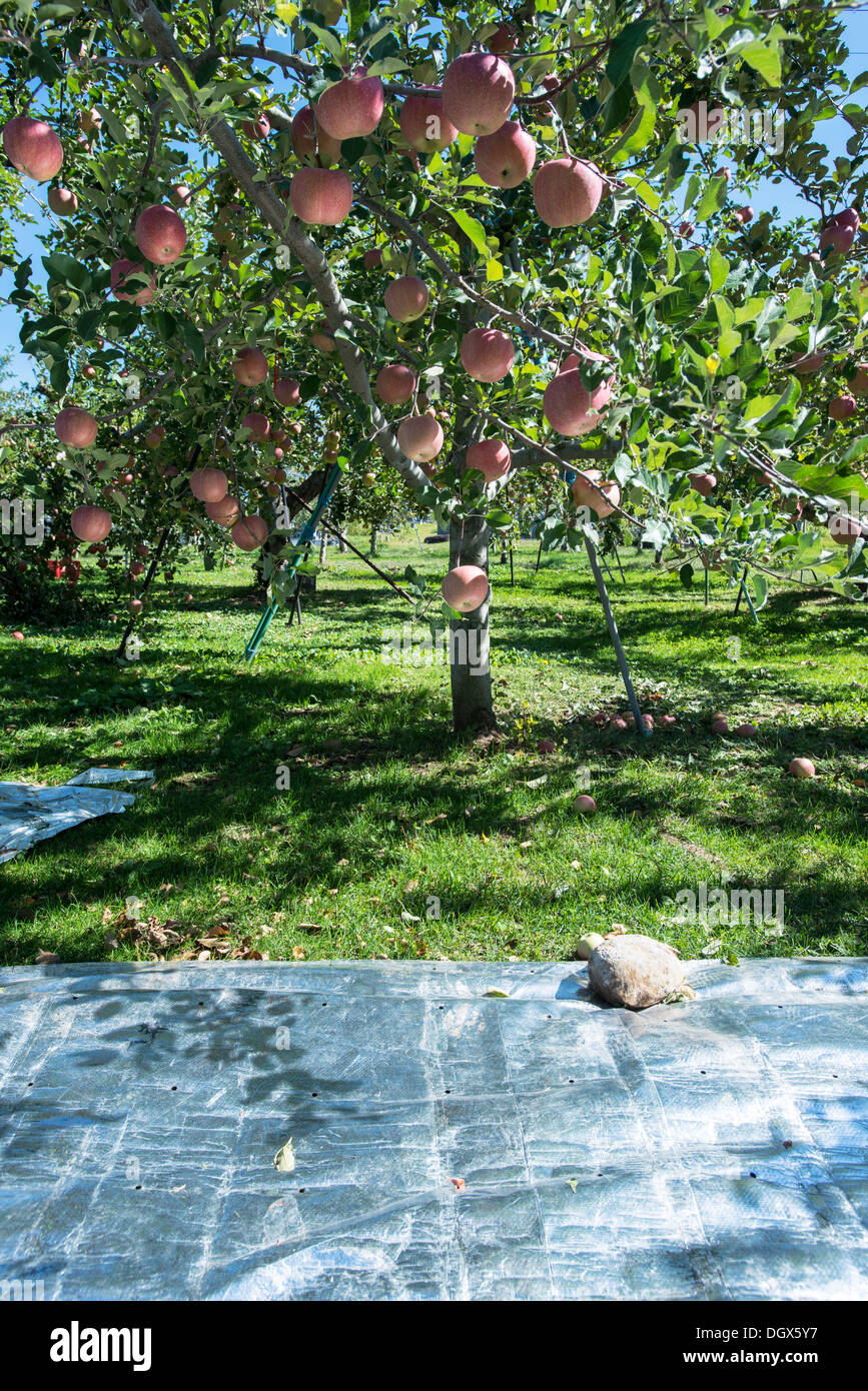 Shishyu apples in Nagano ready to be picked. Image also shows the reflective ground cover to give apples colour - Stock Image