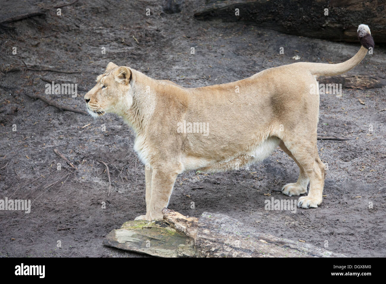 Female lion (Panthera leo) standing on the ground, looking for prey. Stock Photo