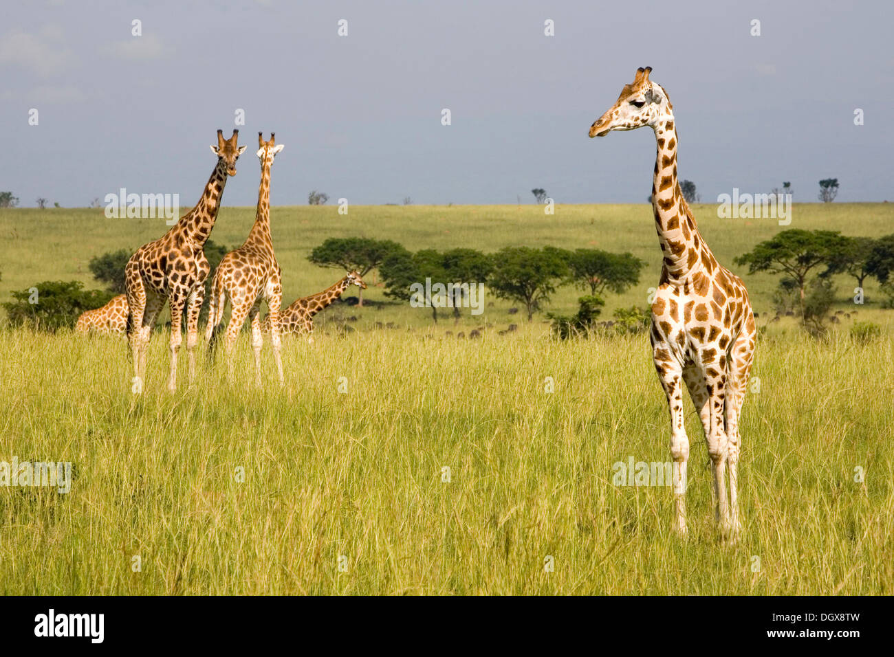 Rothschild or Ugandan Giraffes (Giraffa camelopardalis), critically endangered subspecies, in the savannah of the Murchison - Stock Image