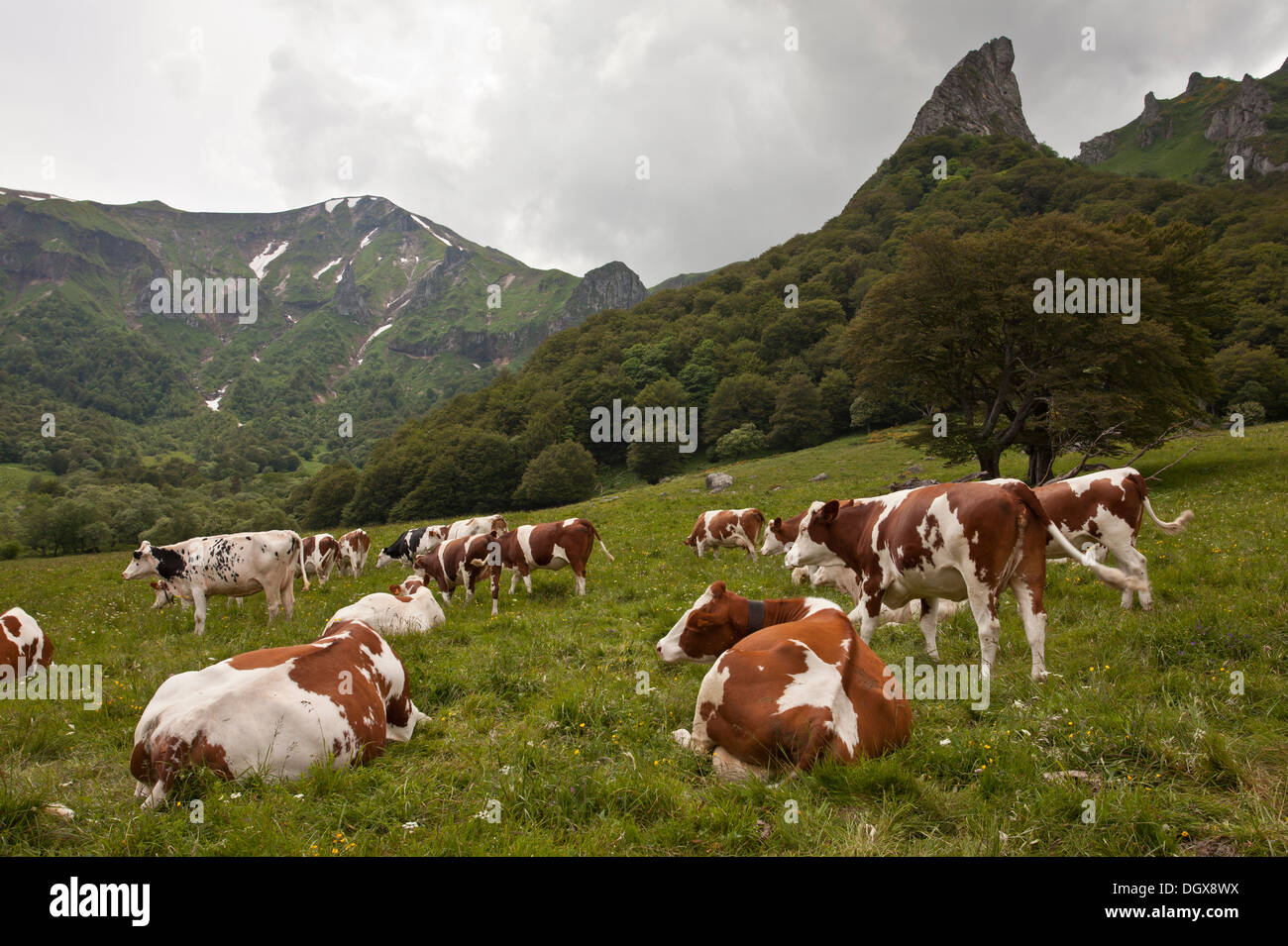 Cattle grazing in high pastures in the Auvergne, Vallée de Chaudefour reserve. France. - Stock Image