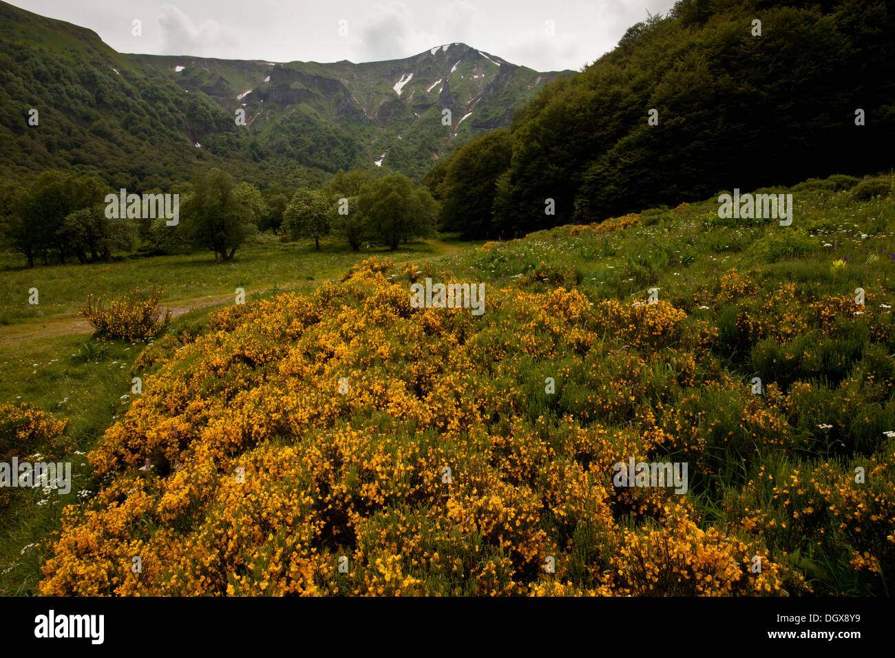 Stinking Broom, Cytisus oromediterraneus = Cytisus purgans growing in mountain pastures in the Auvergne. France Stock Photo