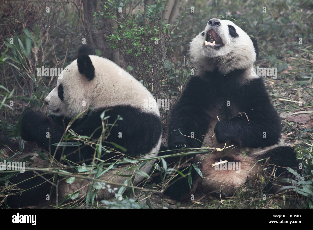 Giant Pandas (Ailuropoda melanoleuca) at Chengdu Panda Breeding and Research Center, Chengdu, China, People's Republic of China - Stock Image