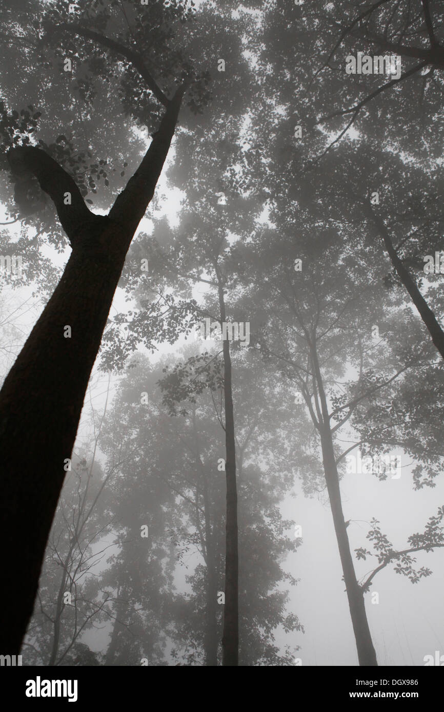 Trees in fog, Chengdu, China, People's Republic of China - Stock Image