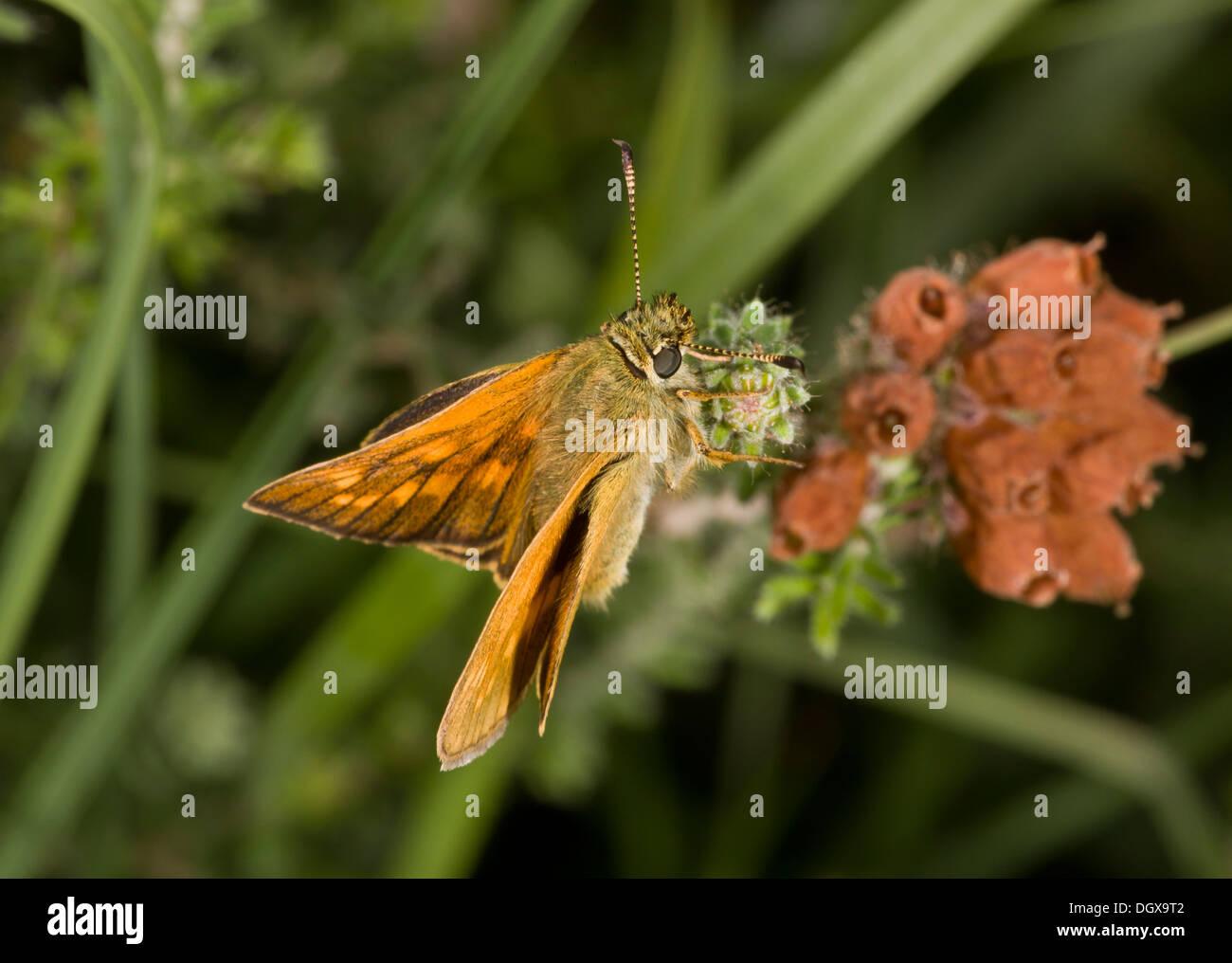 Large Skipper butterfly, Ochlodes sylvanus on cross-leaved heath. Stock Photo