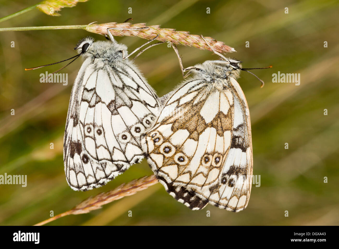 Mating pair of Marbled White butterflies, Melanargia galathea serena, (female on the right) on chalk downland, Dorset. - Stock Image